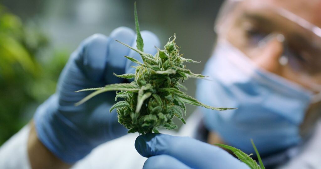 Medical Cannabis production